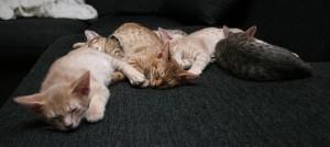 Kattungar sover